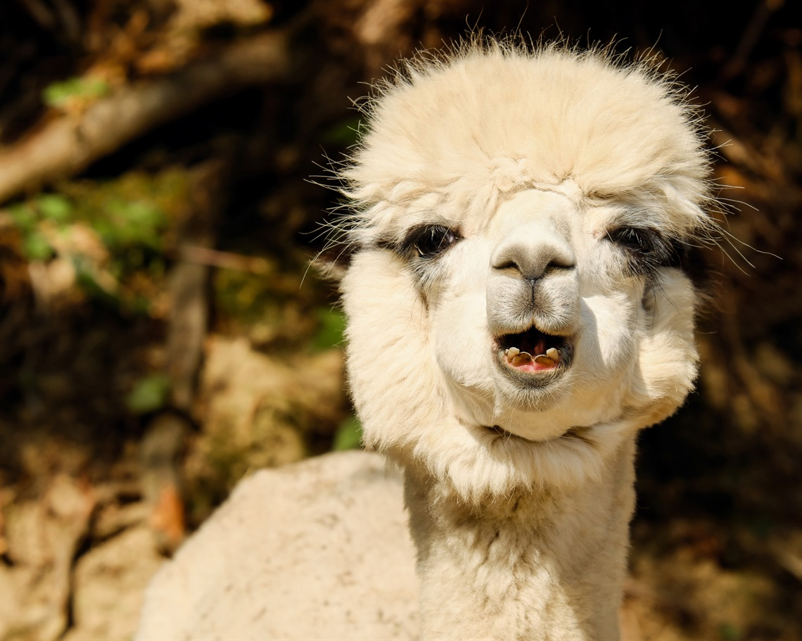 Alpaca-image-by-Couleur-from-Pixabay.jpg